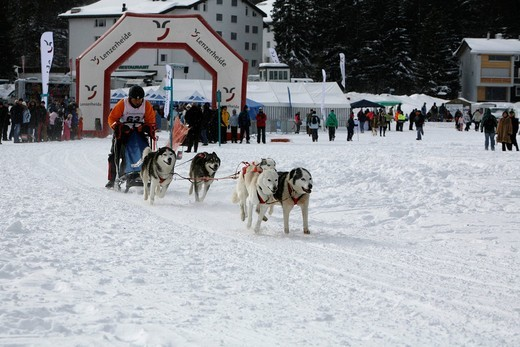 Stock Photo: 1848-422930 Start of a team of Siberian Husky sled dogs, International Sled Dog Race 2010, Lenzerheide, Graubuenden, Switzerland, Europe