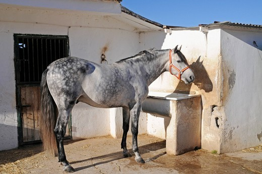 Stock Photo: 1848-423170 Horse, stables, horse riding, stud farm, Costa Blanca, Alicante province, Spain, Europe