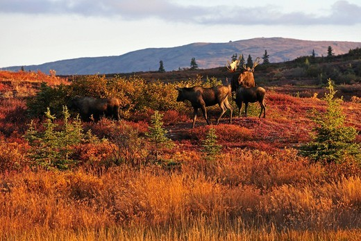Moose Alces alces during the rutting season, Denali National Park, Alaska, USA : Stock Photo