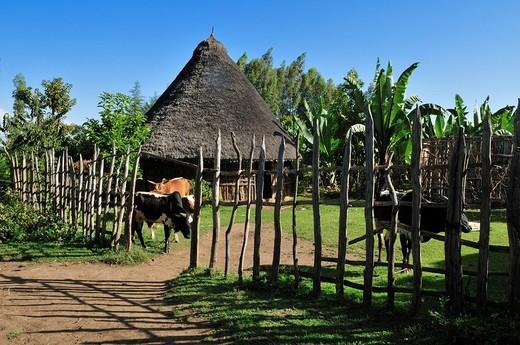 Traditional African hut, grasshut, farmhouse, Gojo, Rift Valley, Oromia, Ethiopia, Africa : Stock Photo