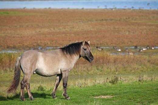 Konik wild horse, back_breeding tarpan horses, stallion : Stock Photo