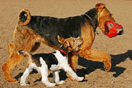 Fox Terrier and Welsh Terrier playing together with ball : Stock Photo