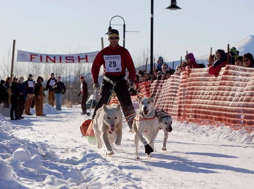Man skijoring, sled dogs pulling cross country skier and small sled, pulka, dog sport, Alaskan Huskies, start of Road Runner 100 dog sled race, Whitehorse, Yukon Territory, Canada : Stock Photo