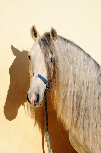 Horse, portrait, mane, horse stables, horse riding, stud farm, Costa Blanca, Alicante province, Spain, Europe : Stock Photo