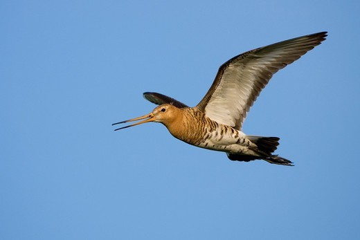 Black_tailed Godwit Limosa limosa in flight : Stock Photo