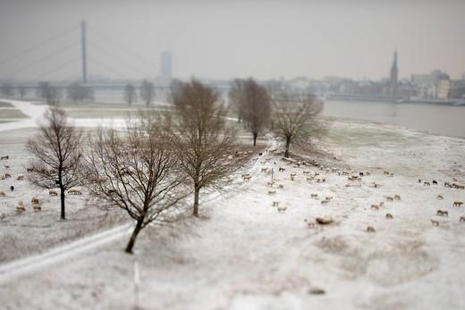 Sheep in winter on the Rhine river, Duesseldorf, North Rhine_Westphalia, Germany, Europe : Stock Photo
