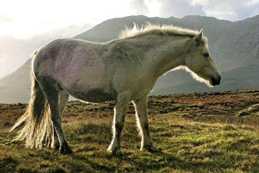 Connemara pony, Inagh Valley, County Galway, Republic of Ireland, Europe : Stock Photo