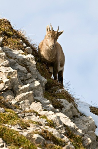 Alpine ibex Capra ibex, Mondscheinspitze Mountain, Karwendel Mountains, Tyrol, Austria, Europe : Stock Photo