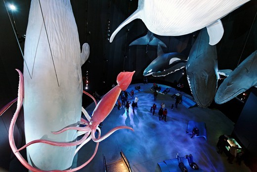 Giant squid fighting with sperm whale, exhibition hall Giants of the Seas, Ozeaneum, German Oceanographic Museum, Stralsund, Baltic Sea, Mecklenburg_Western Pomerania, Germany, Europe : Stock Photo
