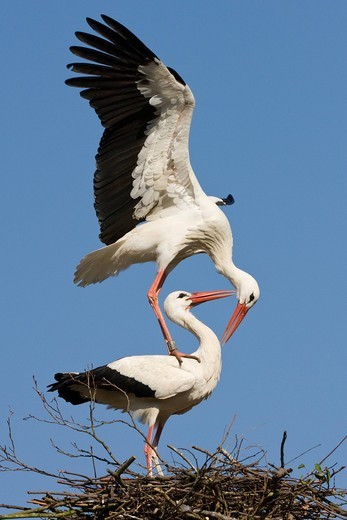 White Stork Ciconia ciconia, pair on nest, Germany : Stock Photo