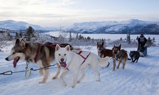 Stock Photo: 1848-429711 Sled dogs Alaskan Huskies, dog team, musher, dog sled race near Whitehorse, Fish Lake behind, Yukon Territory, Canada