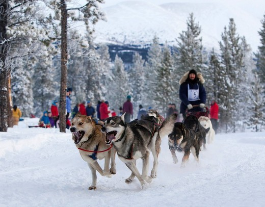 Stock Photo: 1848-429712 Running sled dogs, Alaskan Huskies, dog team, Carbon Hill dog sled race, Mt. Lorne, near Whitehorse, Yukon Territory, Canada