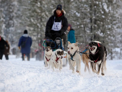 Stock Photo: 1848-429713 Running sled dogs, Alaskan Huskies, dog team, Carbon Hill dog sled race, Mt. Lorne, near Whitehorse, Yukon Territory, Canada