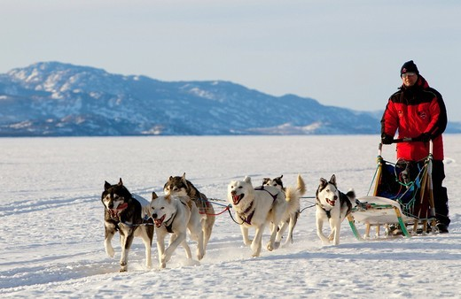 Man, musher running, driving a dog sled, team of sled dogs, Alaskan Huskies, mountains behind, frozen Lake Laberge, Yukon Territory, Canada : Stock Photo