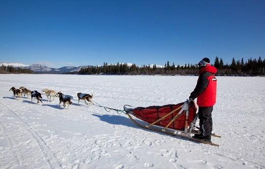 Man, musher running, driving a dog sled, team of sled dogs, Alaskan Huskies, frozen Yukon River, Yukon Territory, Canada : Stock Photo