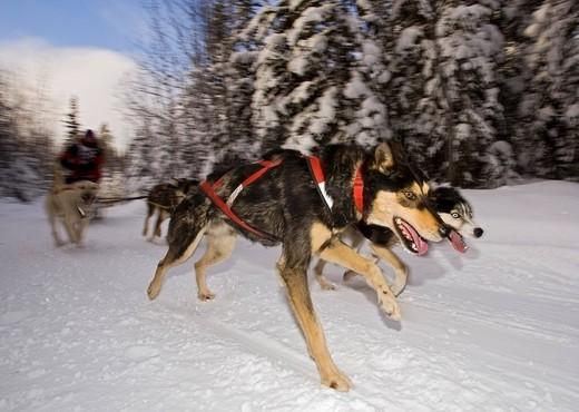 Running sled dogs, dog team, Alaskan Huskies, musher, dog sled race near Whitehorse, Yukon Territory, Canada : Stock Photo