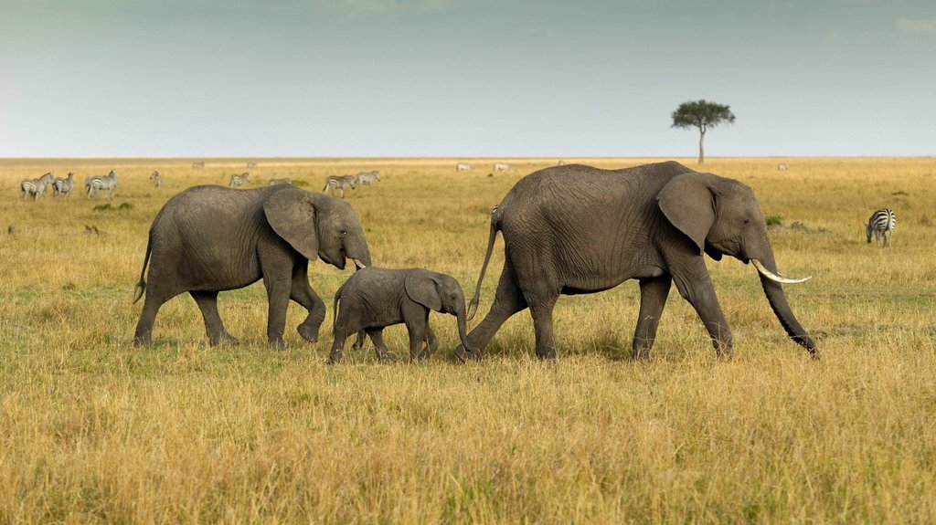 African Bush Elephant Loxodonta africana, group with newborn calf wandering landscape with stormy sky, Masai Mara National Reserve, Kenya, East Africa, Africa : Stock Photo