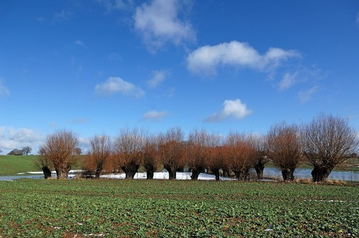 Flooded kettle holes or ponds formed by glacial dead ice, willows Salix alba against a blue sky, Othenstorf, Mecklenburg_Western Pomerania, Germany, Europe : Stock Photo
