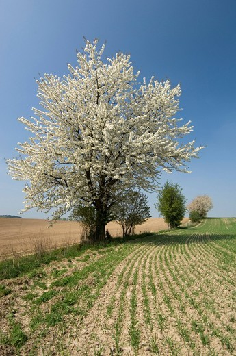 Flowering tree at the edge of a field, canola, tree, spring, Germany, Europe : Stock Photo
