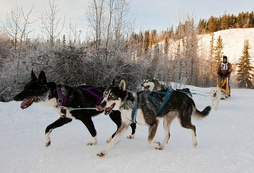 Stock Photo: 1848-432311 Running sled dogs, dog team, Alaskan Huskies, musher, dog sled race near Whitehorse, Yukon Territory, Canada