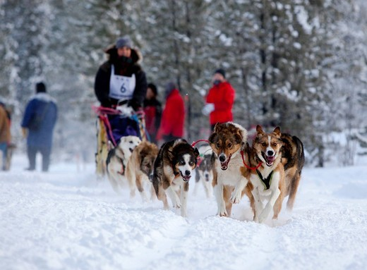 Female long distance musher Michelle Phillips, running sled dogs, Alaskan Huskies, dog team, Carbon Hill dog sled race, Mt. Lorne, near Whitehorse, Yukon Territory, Canada : Stock Photo