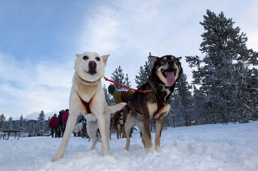 Stock Photo: 1848-432313 Exited sled dogs at the start line, lead dogs, leaders, Alaskan Huskies, Carbon Hill dog sled race, Mt. Lorne, near Whitehorse, Yukon Territory, Canada