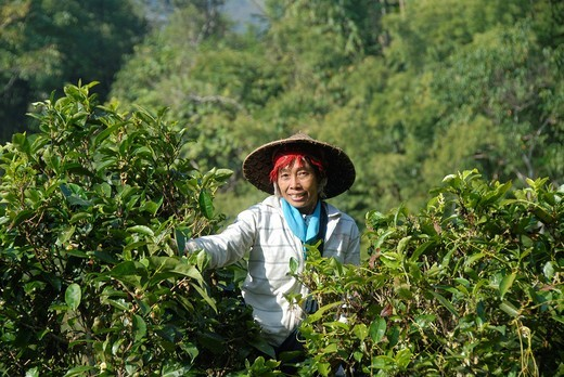 Stock Photo: 1848-432660 Tea picker, young woman of the Phounoy ethnic group with rice hat climbing in a tree crown and plucking tea leaves from tea trees up to 400 years old, traditional traditional costume, village of Ban Komaen, Phongsali district and province, Laos, Southeast
