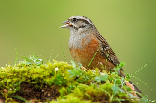 Stock Photo: 1848-433569 Rock bunting Emberiza cia