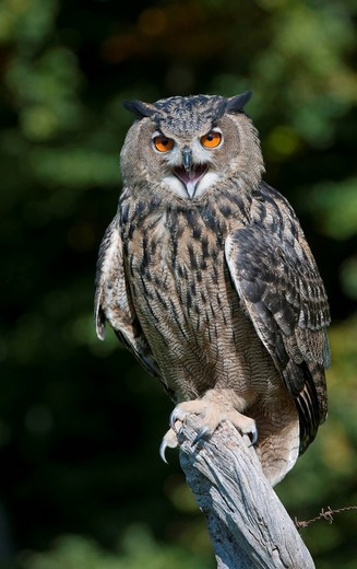 Stock Photo: 1848-433791 Eurasian Eagle_Owl Bubo bubo