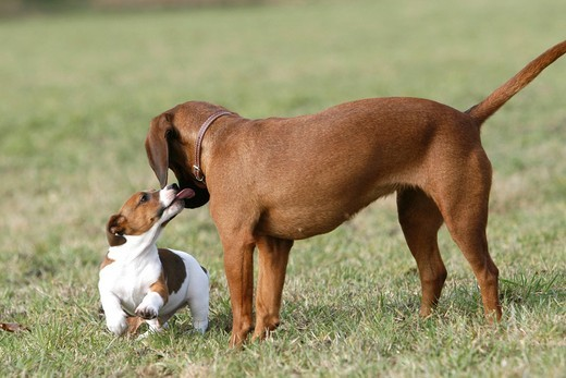 Jack Russell puppy making contact with an adult dog : Stock Photo