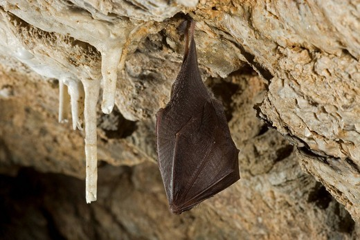 Lesser horseshoe bat Rhinolophus hipposideros hibernating in a cave, Thuringia, Germany, Europe : Stock Photo