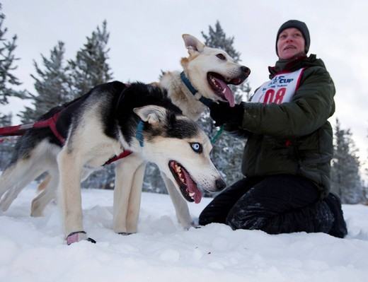 Exited sled dogs at the start line, lead dogs, leaders, Alaskan Huskies, held out by handler, Carbon Hill dog sled race, Mt. Lorne, near Whitehorse, Yukon Territory, Canada : Stock Photo