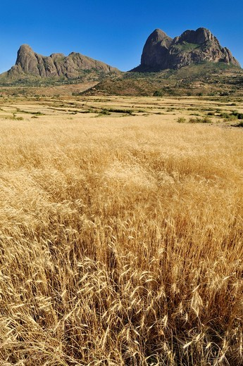 Wheat field in the Adua, Adwa Mountains in Tigray, Ethiopia, Africa : Stock Photo