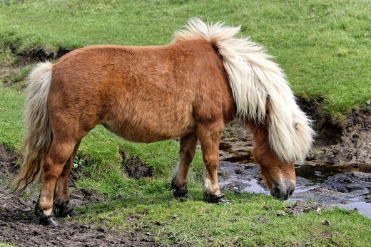 Frisian horse drinking water from a stream : Stock Photo