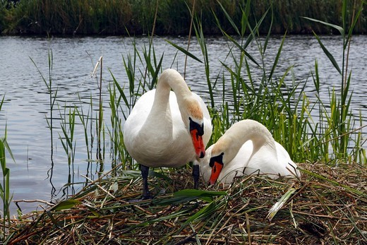 Pair of nesting and brooding Mute Swans Cygnus olor : Stock Photo
