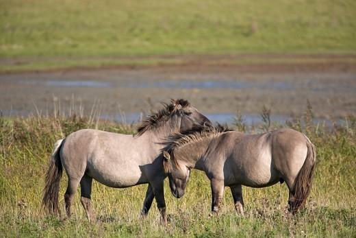 Wild Konik horses, stallion and mare : Stock Photo