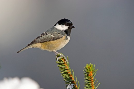Coal Tit Periparus ater in winter, Thuringian Forest, Germany, Europe : Stock Photo