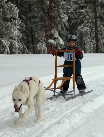 Young boy mushing a dog sled, Alaskan Husky, Carbon Hill dog sled race, Mt. Lorne, near Whitehorse, Yukon Territory, Canada : Stock Photo