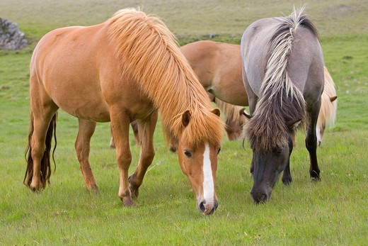 Icelandic horses, Iceland, Europe : Stock Photo
