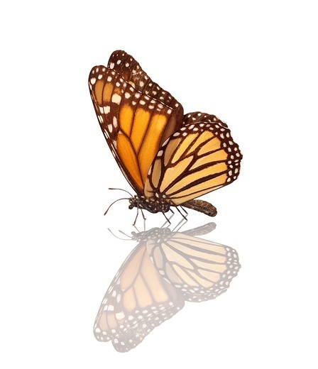 Stock Photo: 1848-435733 Monarch butterfly Danaus plexippus