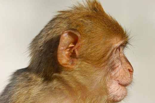 Stock Photo: 1848-436216 Barbary macaque Macaca sylvanus, Gibraltar, Europe