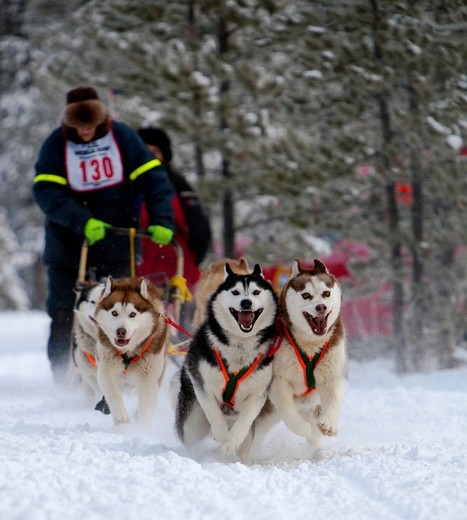 Running sled dogs, dog team, Siberian Huskies, Carbon Hill dog sled race, Mt. Lorne, near Whitehorse, Yukon Territory, Canada : Stock Photo