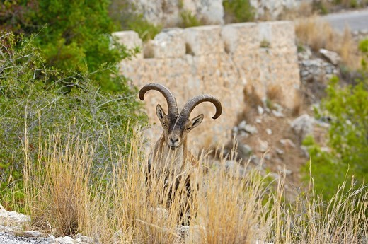 Spanish Ibex Capra pyrenaica, Maro_Cerro Gordo cliffs, La Axarquia, Malaga province, Andalucia, Spain, Europe : Stock Photo