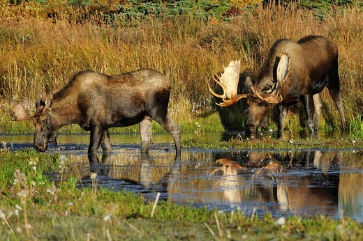 Moose Alces alces during the rutting season eating grass from the bottom of a beaver pond, Denali National Park, Alaska, USA : Stock Photo
