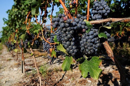 Stock Photo: 1848-438292 Grapes, vines, Sion, Valais, Switzerland, Europe
