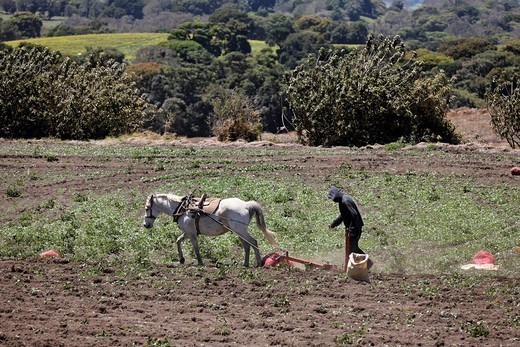 Harrowing with horse, Irazu, Costa Rica : Stock Photo