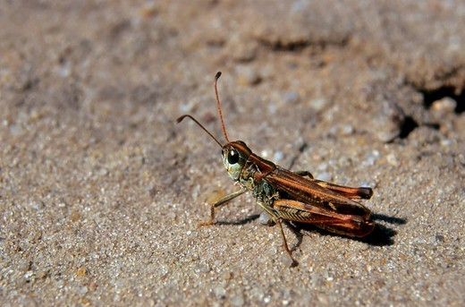 Stock Photo: 1848-43898 Mottled grasshopper Myrmeleotettix maculatus, male