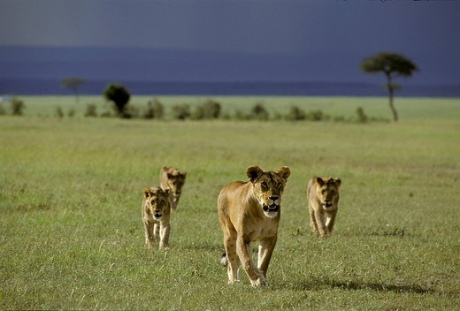 Stock Photo: 1848-43903 Walking Lioness  Panthera leo with cubs, Masai Mara National Reserve, Kenya