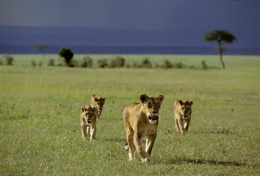 Walking Lioness  Panthera leo with cubs, Masai Mara National Reserve, Kenya : Stock Photo
