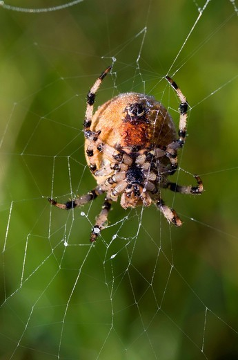 Four Spot Orb Weaver Araneus quadratus, female, Riedener Lake, Lech Valley, Ausserfern, Tyrol, Austria, Europe : Stock Photo